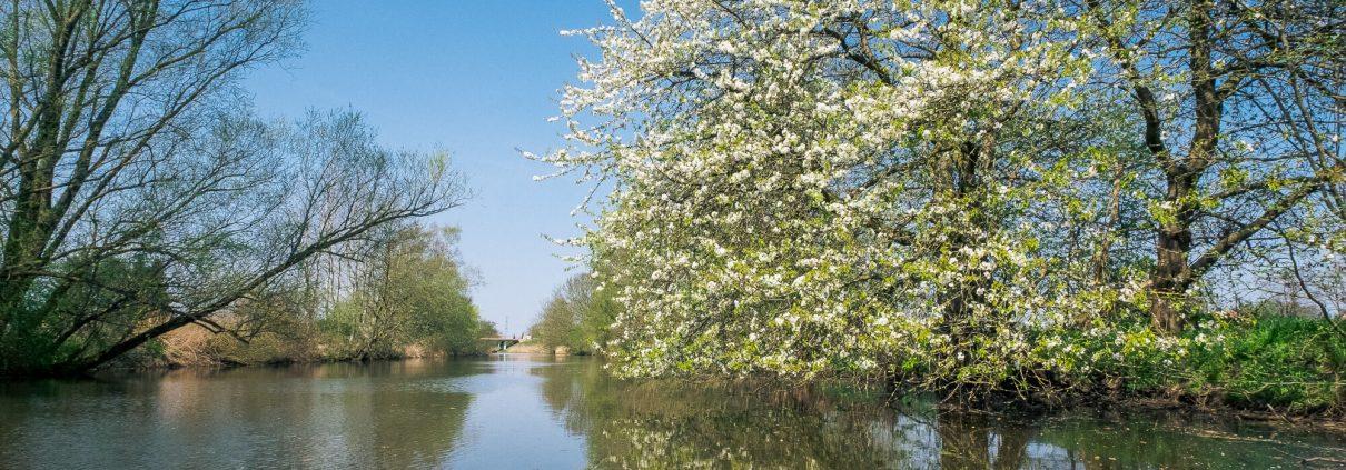 Gose Elbe | Kirschblüten